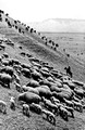 Drastically increasing the headcount of sheep in Xinyuan county 新源县, Xinjiang province